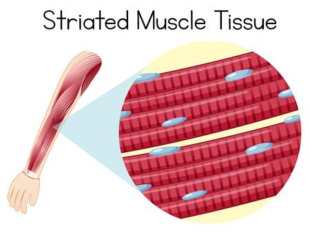 Ilustración de tejido muscular estriado arn humano Ilustración de vector