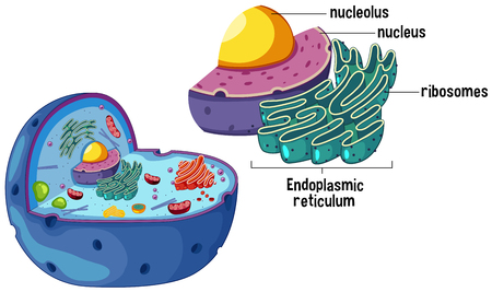 Magnified Animal Cell Diagram illustration Illustration