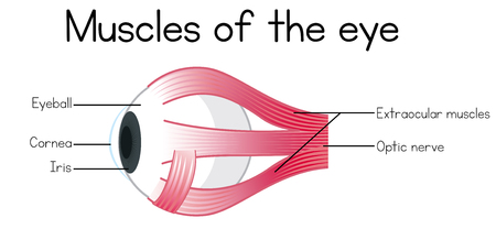 Human Muscles of the Eye illustration