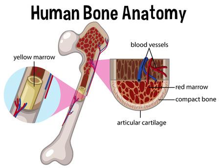Ilustración de diagrama y anatomía ósea humana Ilustración de vector