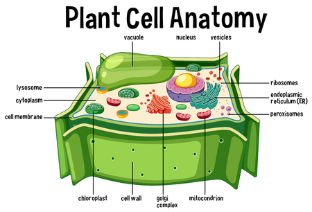 Plant Cell Anatomy diagram illustration