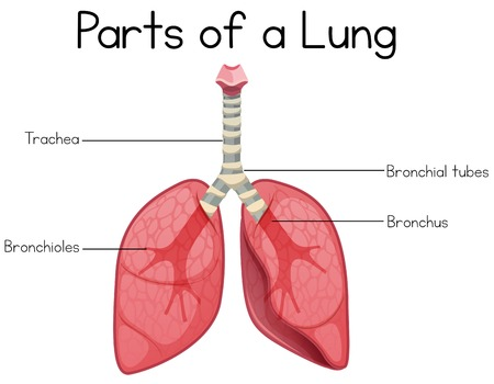 Parts of a lung on white background illustration