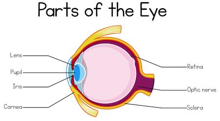 Part of Human Eye illustration