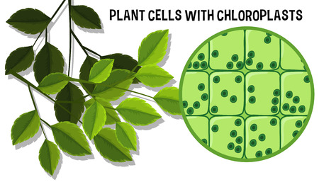 Plant Cells With Choloroplasts illustration