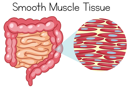 Anatomie des glatten Muskelgewebes Abbildung Vektorgrafik