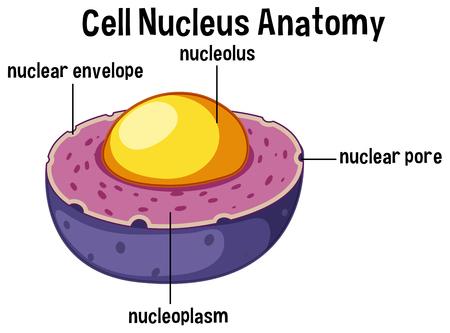 Illustrazione di anatomia del nucleo delle cellule animali Vettoriali
