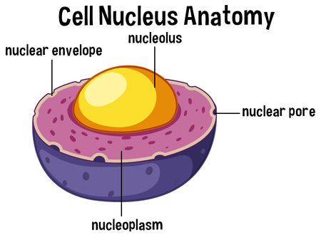 Animal cell nucleus anatomy illustration