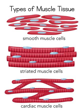 Tipos de ilustración de tejido muscular Ilustración de vector