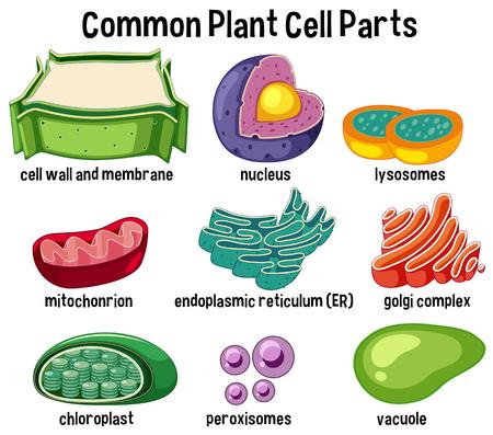 Ilustración de partes de células vegetales comunes