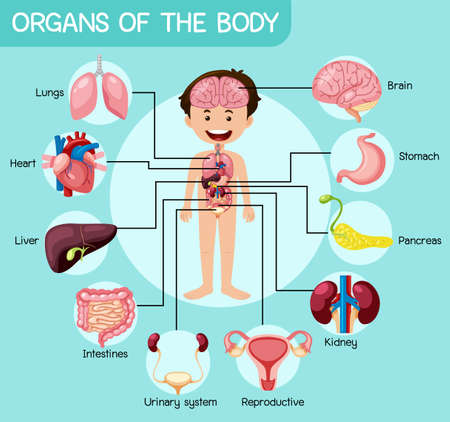 Informative organs of the body illustration