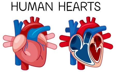 Information poster of human heart illustration