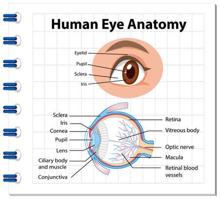 Diagram of human eye anatomy with label illustration