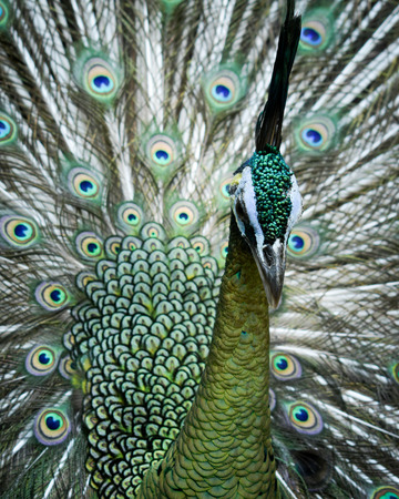 Green Peafowl (Pavo muticus) male close up