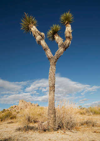 joshua: Tall Joshua Tree