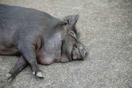 femal: Sleeping Wild Boar Close-up