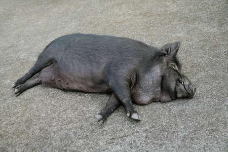 femal: Sleeping Wild Boar