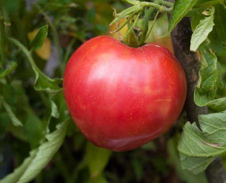 Oxheart Heirloom Tomato