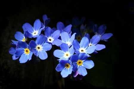 Forget-me-not, myosotis, flower on dark background. Stock Photo - 923216