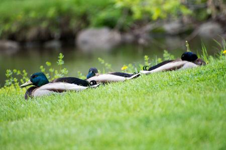 huddling: Ducks huddling on grass