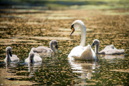 cygnet: Mother swan watches over cygnets in summer