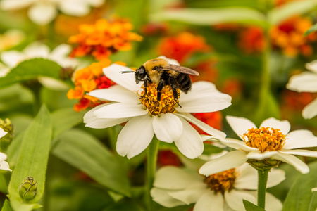 Bee pollinating large flower Фото со стока
