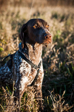 short hair dog: a purebred pointer dog in a field