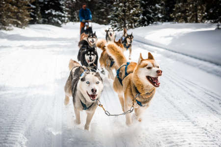 sled dogs running and pulling a sled