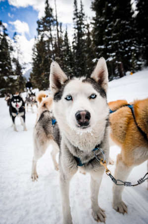 sled dogs: sled dogs in the mountains Stock Photo