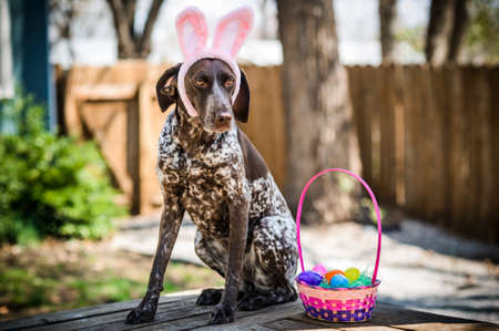 easter basket: a dog wearing bunny ears Stock Photo