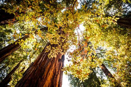 zonlicht komen door de bomen in een Redwood bos