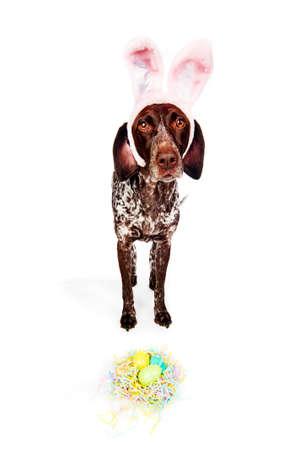 een schattige hond het dragen van bunny oren Stockfoto