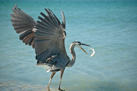 Great Blue Heron Eating a Fish it has Caught Stock Photo
