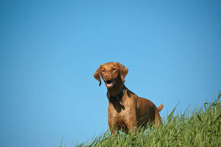 Vizsla Dog on a Grassy Hill Stock Photo - 7823424
