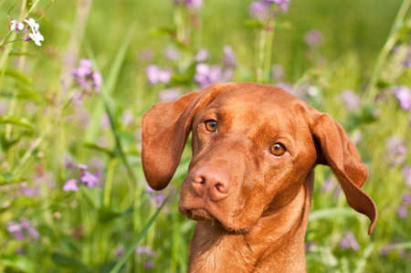 Close-up of a Vizsla Dog with Wildflowers Stock Photo