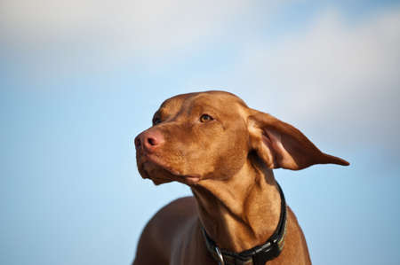 A Vizsla dogs ears are blown back by the wind. photo