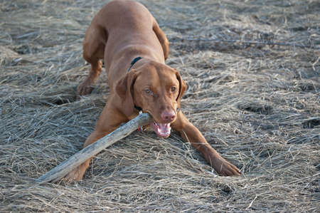 A Vizsla dog chews on a stick while crouched down in some long grass. Stock Photo - 7925723