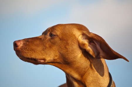 A Vizsla dog's ears are blown back by the wind. Stock Photo - 7925726