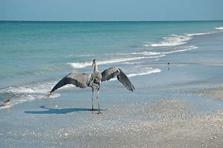 A Great Blue Heron lands on a Gulf Coast beach near a few shorebirds. photo