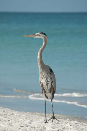 A Great Blue Heron stands on the sand with blue sky and ocean in the background. photo