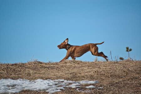 A Hungarian Vizsla dog runs across a ridge in winter.
