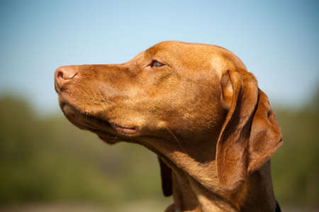 A Hungarian Vizsla (Magyar Vizsla) dog looks to her right with blue sky and vegetation in the background. Stock Photo - 7925760