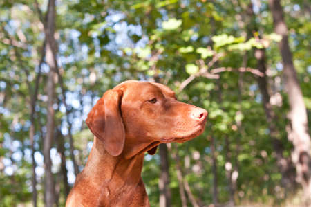 hungarian pointer: A Hungarian Vizsla dog in profile with blue sky and trees in the background. Stock Photo