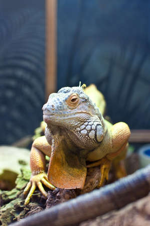 A bearded dragon on display. photo
