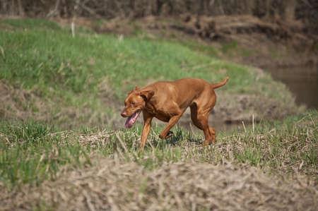 hungarian pointer: A Hungarian Vizsla dog runs through a grassy field in the spring. Stock Photo