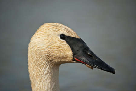 A close-up shot of a Trumpeter Swan in profile. photo