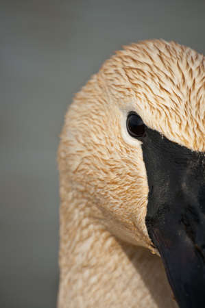 An extreme close up shot of a Trumpeter Swan. photo