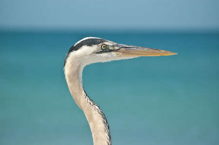 The head and neck of a Great Blue Heron in profile at a Florida beach. photo