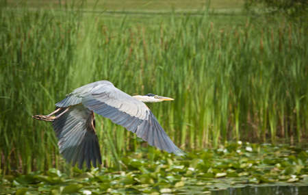 A Great Blue Heron flies across a pond covered in water lilies and edged with tall grass. photo