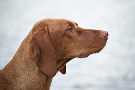 magyar: A Hungarian Vizsla (Magyar Vizsla) dog in profile with a grey background. Stock Photo