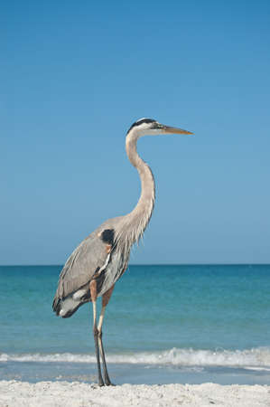 A Great Blue Heron on the sand of a Gulf Coast Florida beach. photo